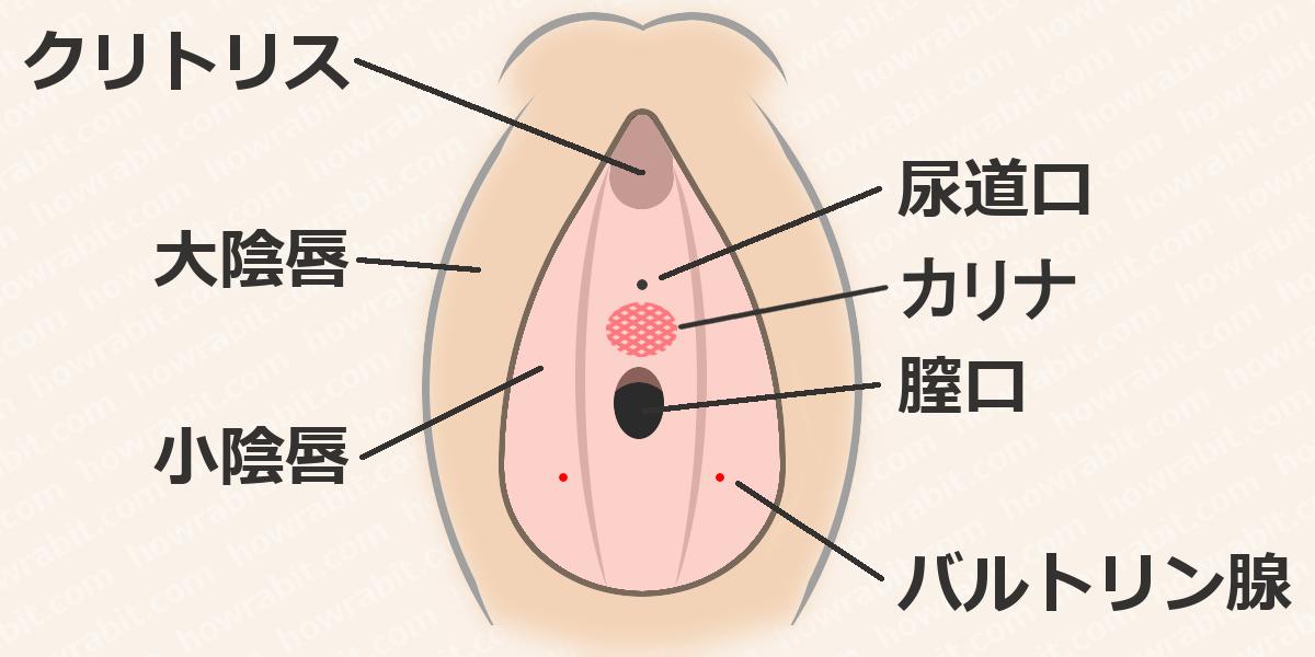 女性器の全体図